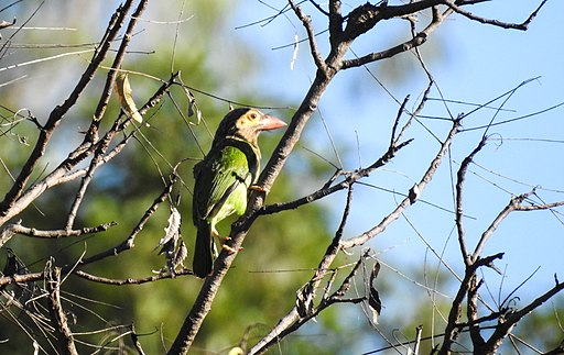 Brown headed barbet from chinnar by Krishnakumar