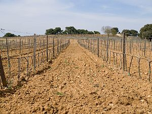 Vineyards in the Spanish wine region of Ribera...