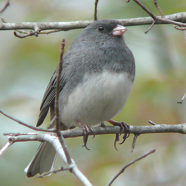 File:Dark-eyed Junco-27527.jpg