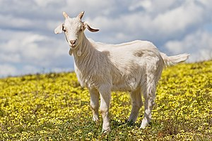 A 2 month old goat kid in a field of capeweed.