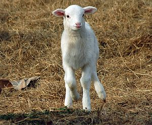 A St. Croix lamb in South Carolina.