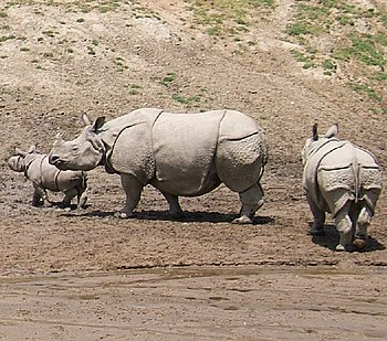 Indian Rhinoceros at San Diego Zoo's Wild Anim...