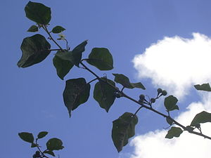 English: Solanum torvum (branch). Location: Ma...