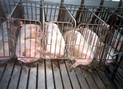 Gestation crates