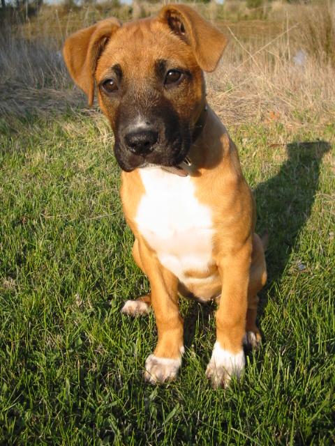 Staffy Ridgeback Cross Pitbull Dog History