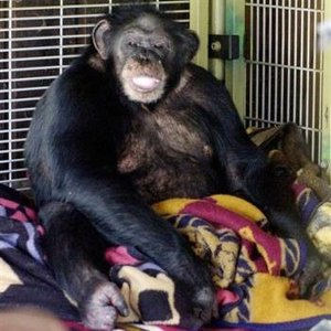 Travis (chimpanzee)