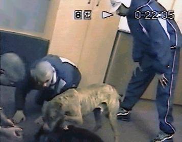 Dog fighting gang members caught on hidden surveillance camera  Game Dogs Pitbulls