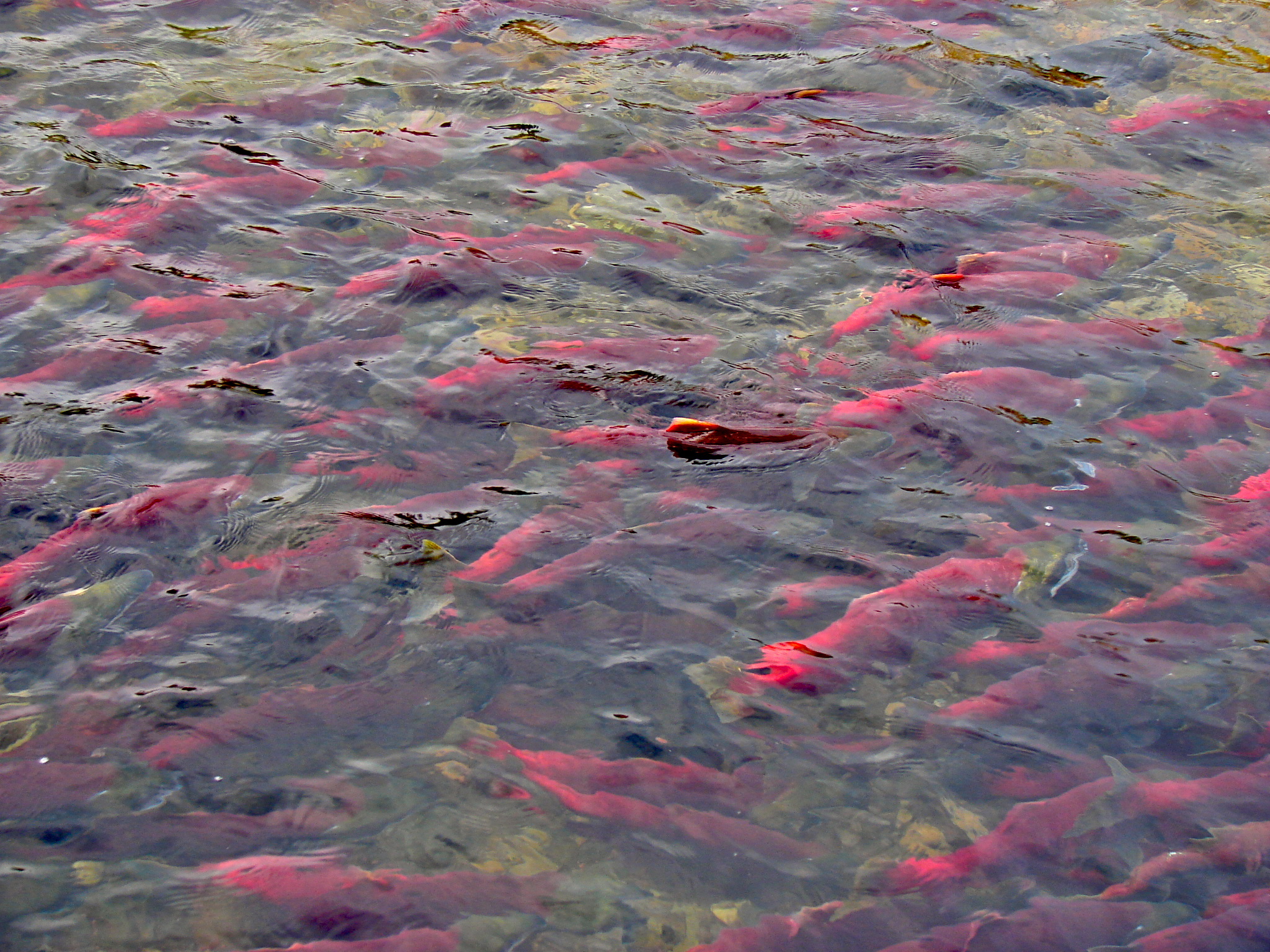 waters on the Adams river thick with Sockeye s...
