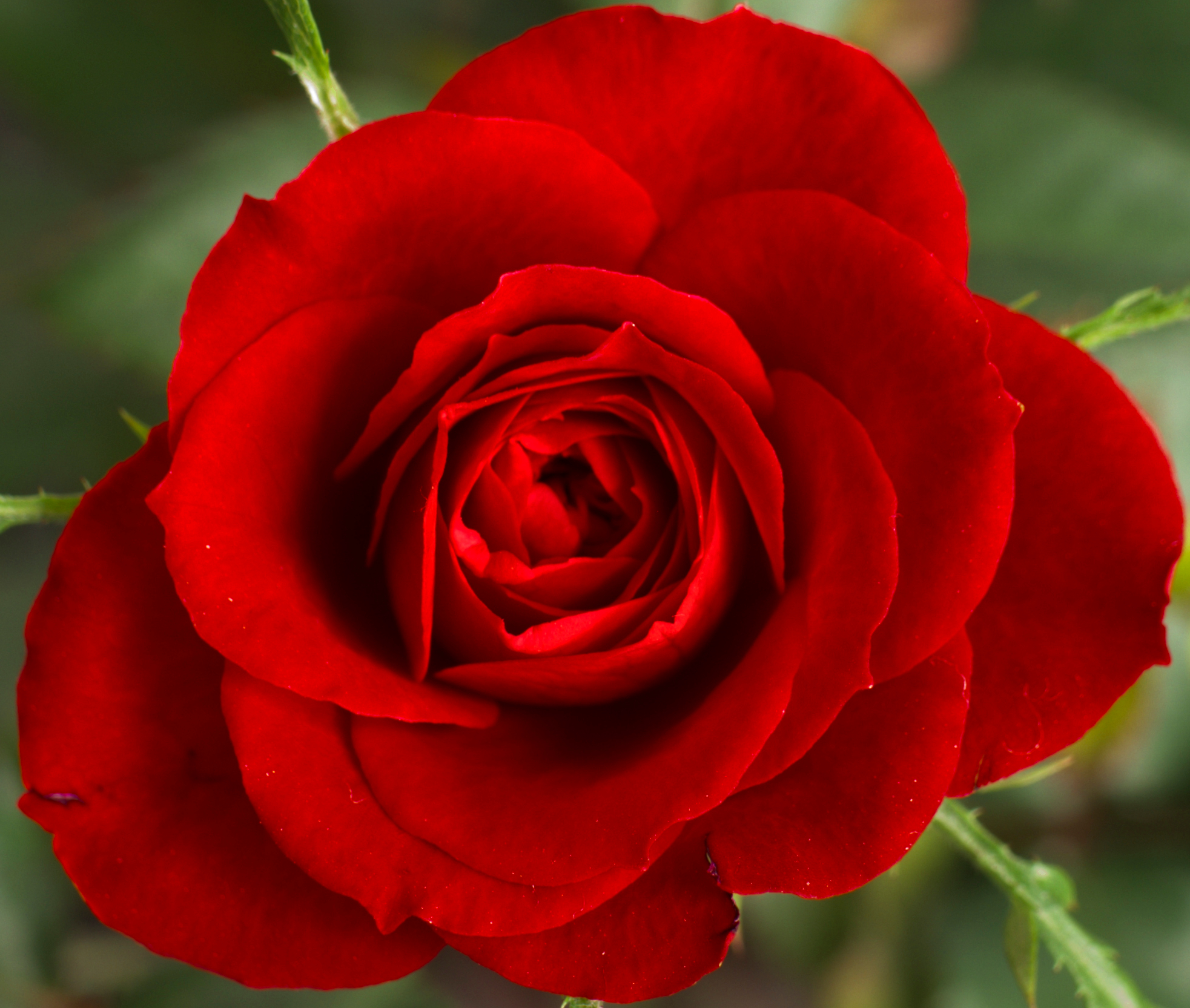 Cropped Small Red Rose