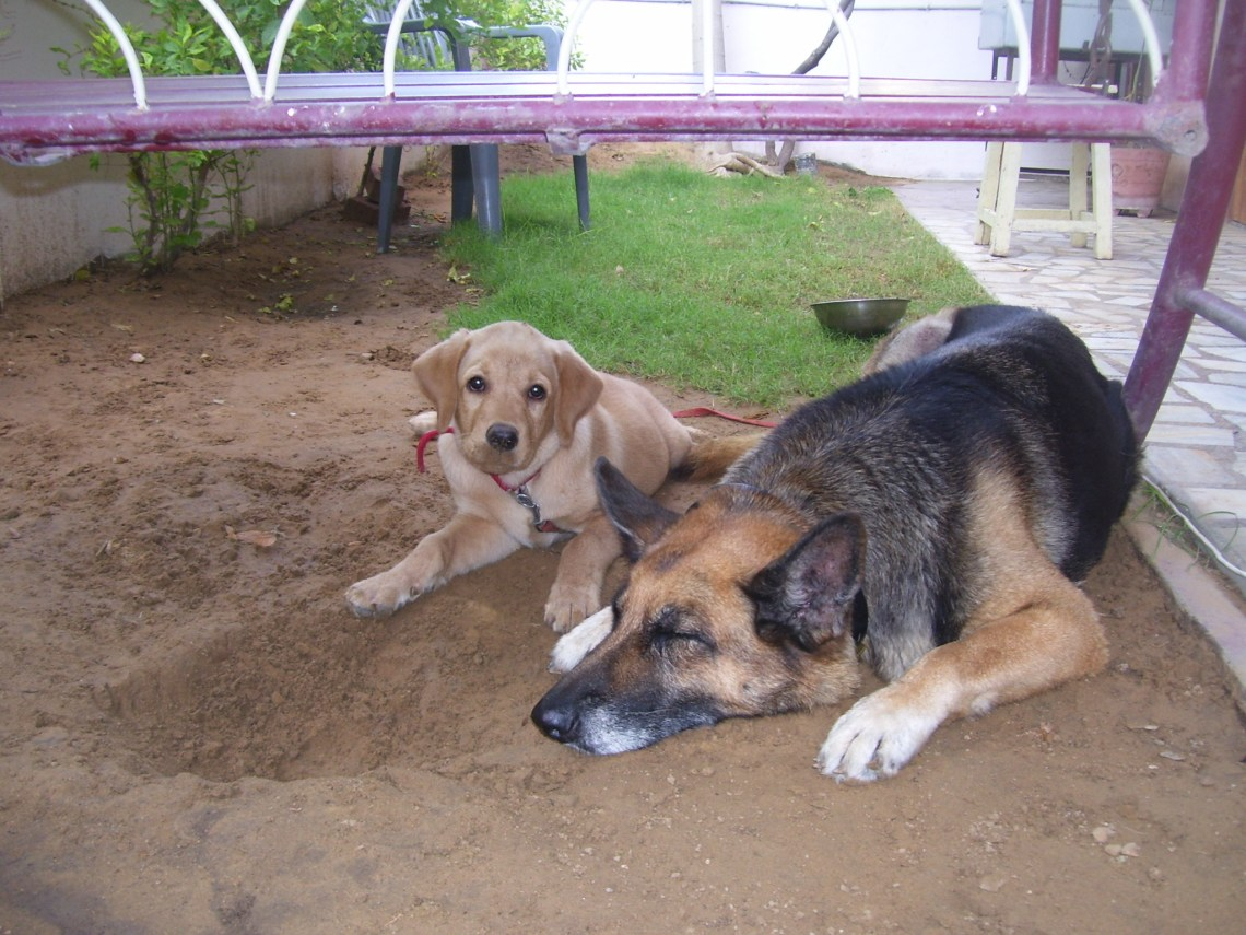 Two dogs lying down Dogs That Can Beat A Pitbull