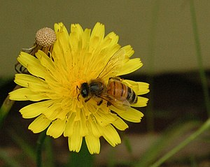 Honey bee on Dandylion