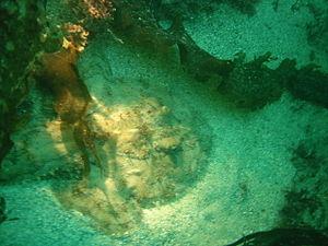A monkfish in its natural environment