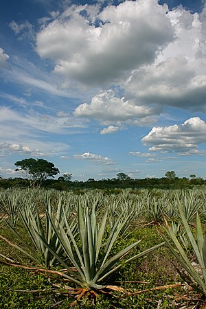 Henequen farm in Yucatán Peninsula.