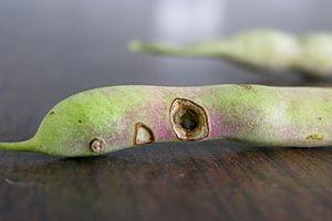 Western bean cutworm damage to dry bean
