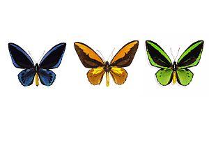3 ornithoptera specimens