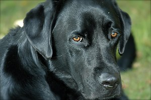Black lab hi-res