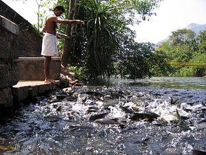 Shishila temple fish conservation - feeding fish