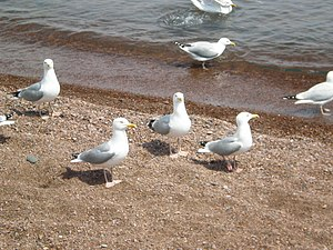 Seagulls in Grand Marais