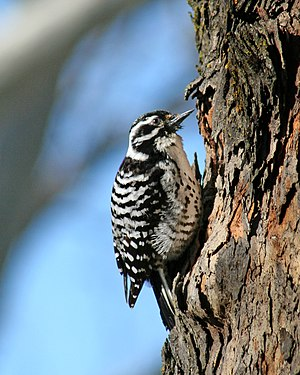 Nuttals woodpecker