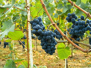 Pinot Noir grapes in Moldova.