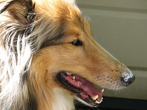 Shadow Rough Collie