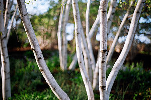 A stand of birch trees.