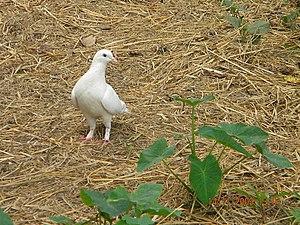 Pigeon in Mymensingh