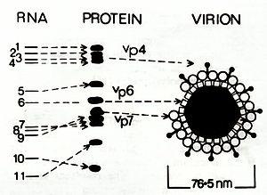 RNA Protein Virus