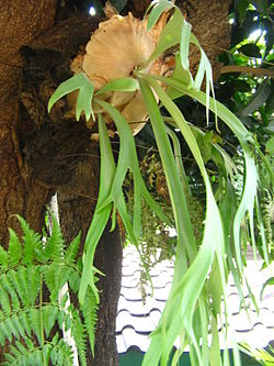 Paku tanduk rusa biasa (P. bifurcatum)