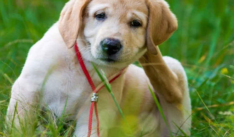 How to Treat Flea in Your Puppy