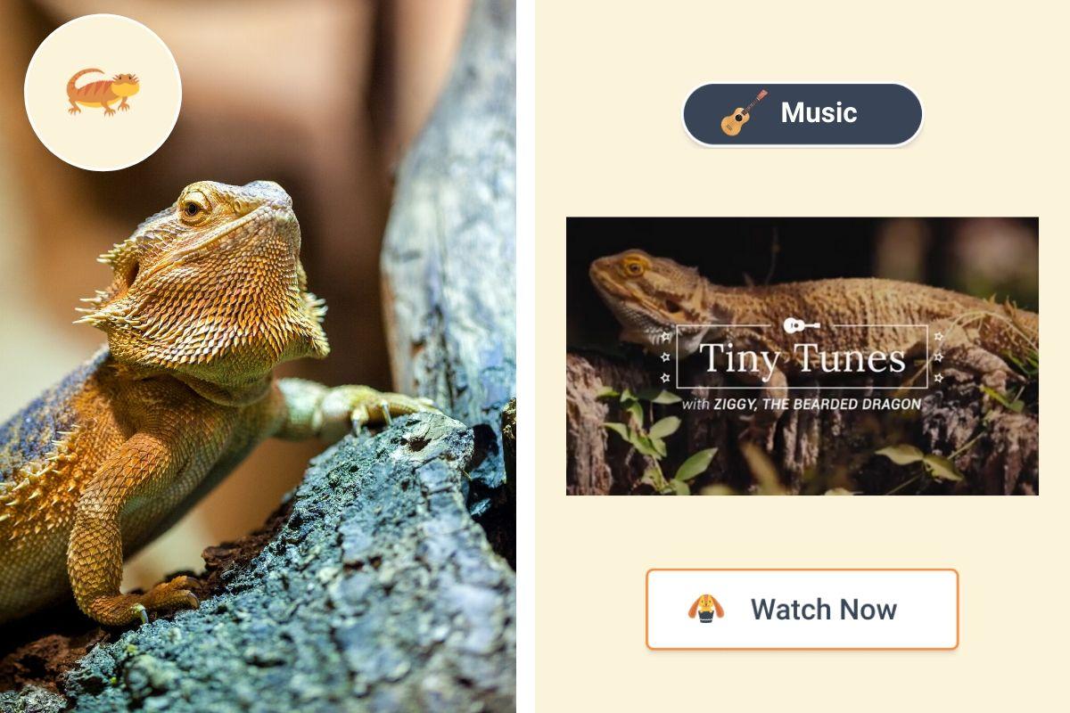 Tiny Tunes With Ziggy The Bearded Dragon