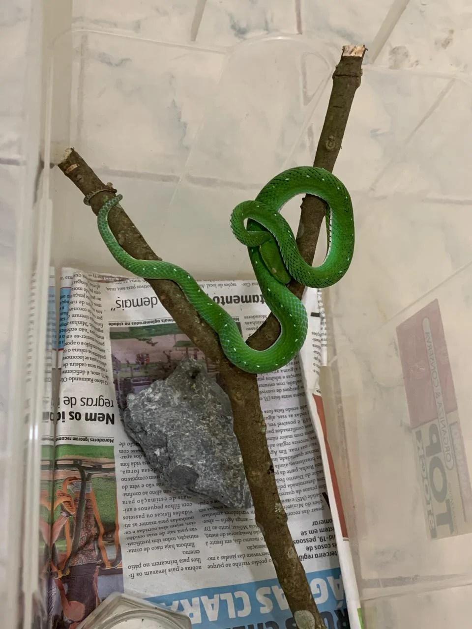 vibora verde de vogel