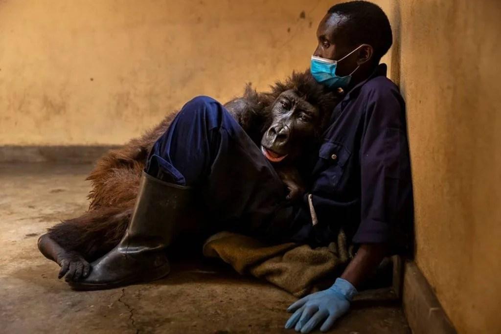 A gorila Ndakasi
