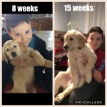 Lot Of Difference In 7 Weeks Golden Retriever Dog Forums