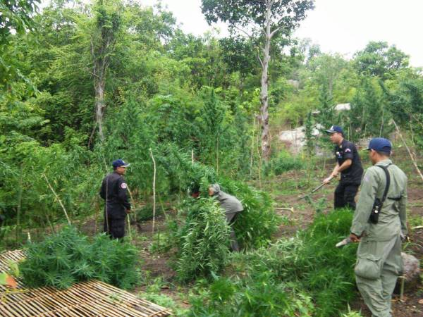 Cambodian Anti-Drug Police Find & Destroy 102 Marijuana ...