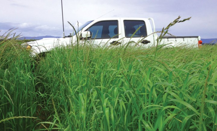 Munch Perennial Ryegrass in paddock with a ute