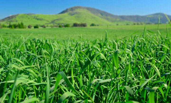 Stockman Phalaris in paddock