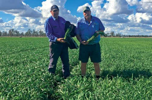 Lavish Forage Oats in paddock with two happy farmers