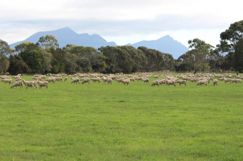 Atomic ryegrass paddock in Victoria with grazing sheep