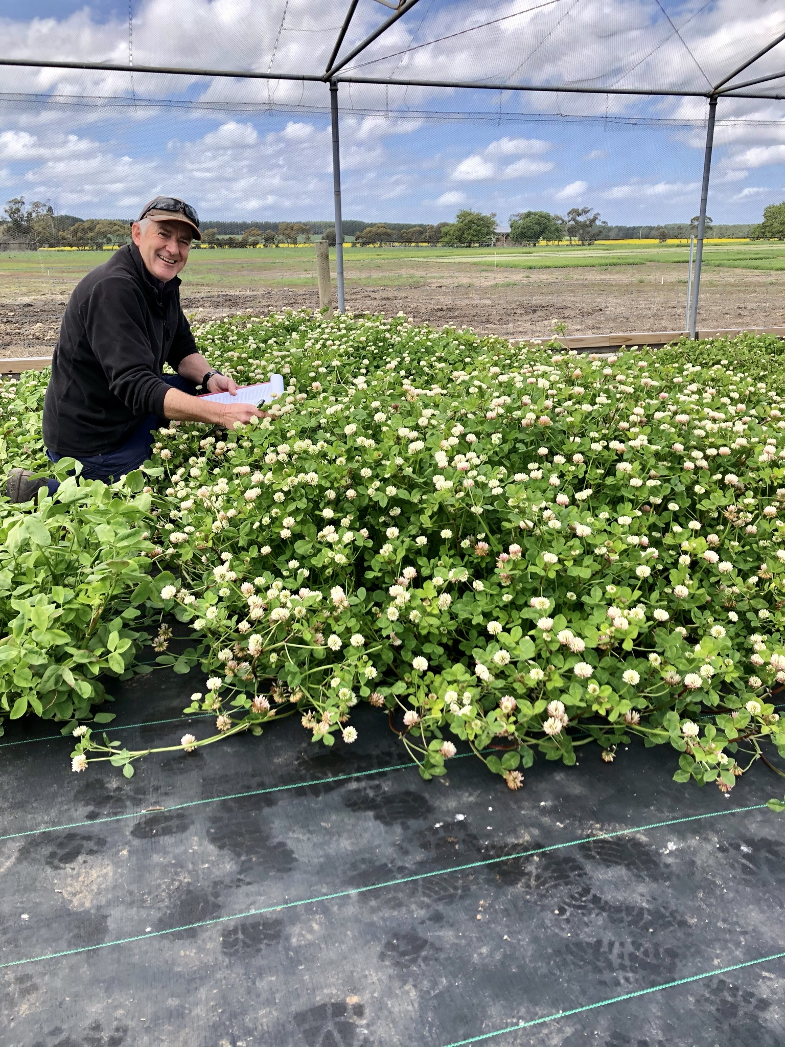 Plant breeding clovers