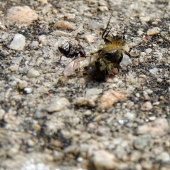 An ant dragging home a dead bee