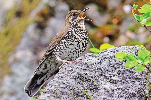 HimalayanForestThrush-kDO--621x414@LiveMint