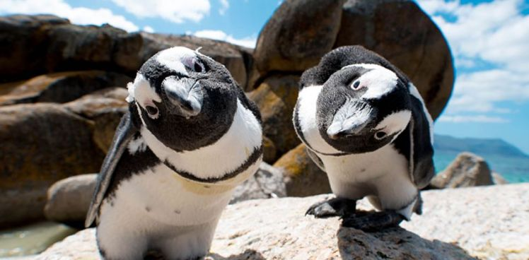 Boulders-Beach-Penguins_960_472_80auto_s_c1_center_center