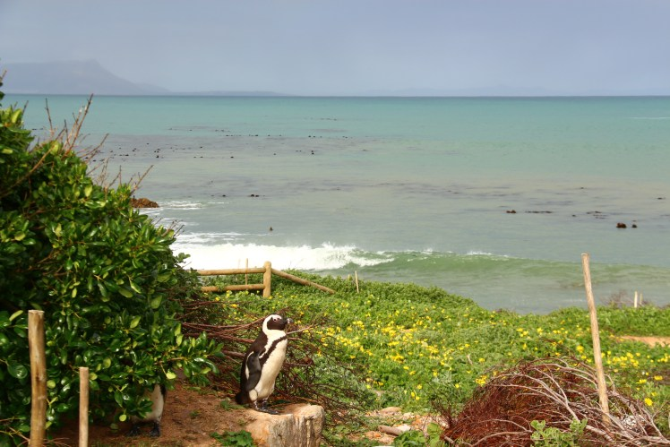 Penguin at Stony Point, in Betty's Bay, South Africa