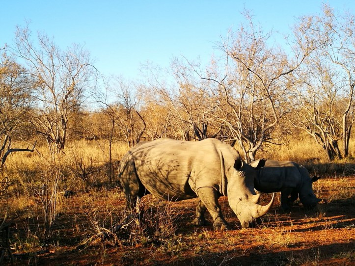 Rhino mom and calf, grazing in the Balule reserve, Kruger national park, South Africa