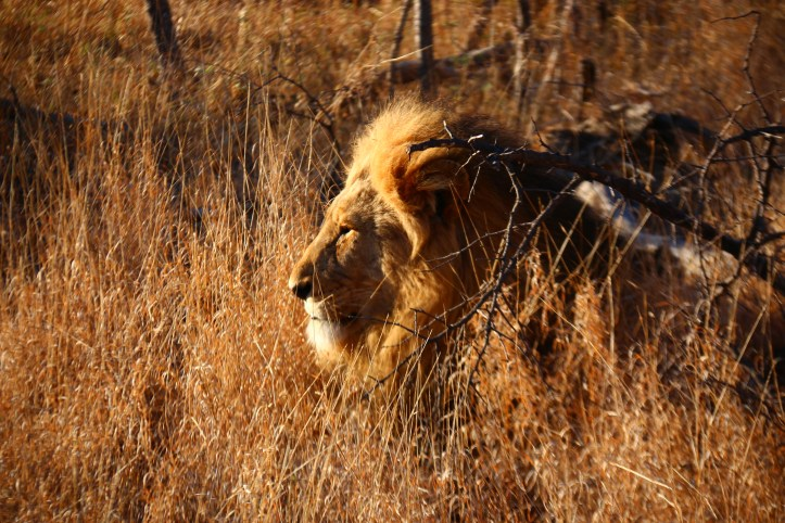 A lone lion in the morning sun, Balule reserve in Greater Kruger Park, South Africa Safari