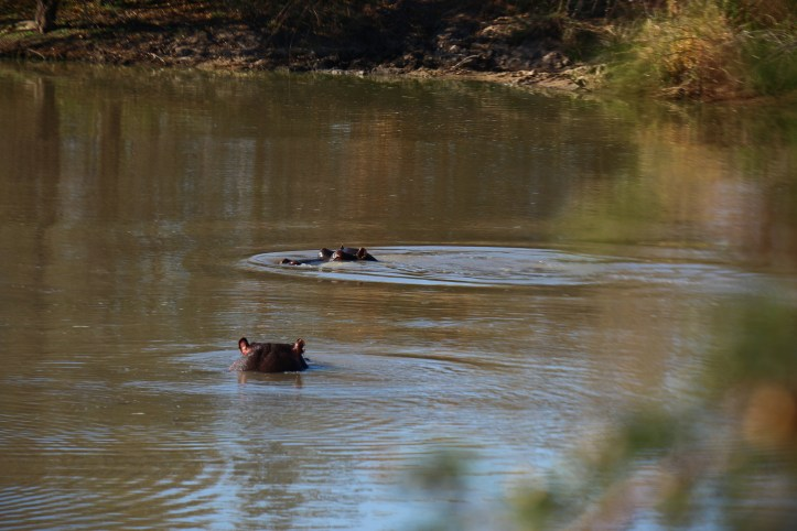 Hippos in the water, Balule reserve, Greater Kruger National Park