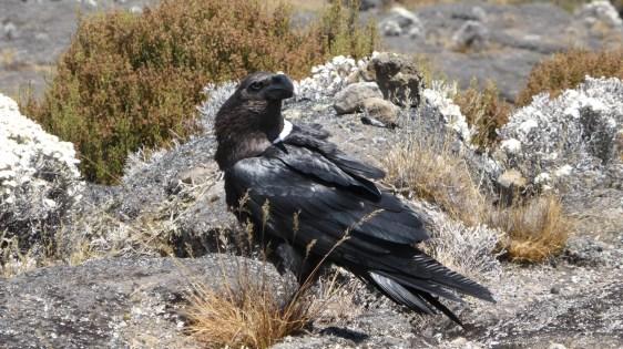 Raven on Kilimanjaro