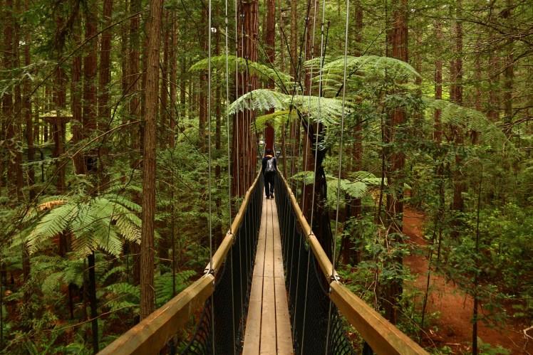 Californian Redwoods at Rotorua Treewalk, New Zealand