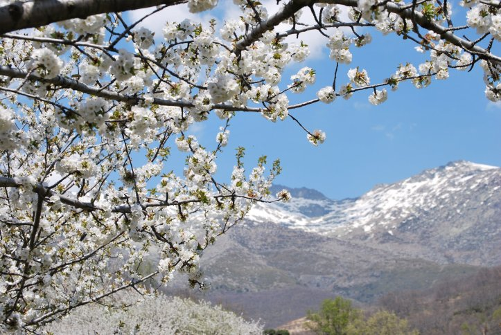 cherry blossom in Jerte Spain